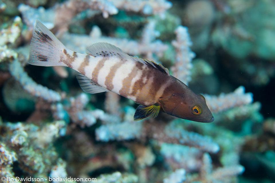 BD-131211-Fury-Shoal-1261-Plectropomus-pessuliferus-(Fowler.-1904)-[Roving-coral-grouper].jpg